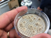 These are spores that survived the entire brewing process and were found in bottles of Pale Ale. Not harmful to humans.